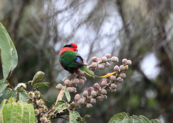 Papuan Lorikeet (Charmosyna papou) in Papua New Guinea