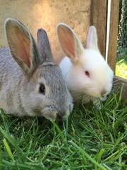 Kaninchen grau und albino