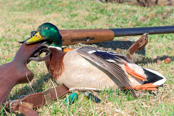 hunting trophy - wild duck.