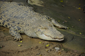 Crocodile in Malacca Zoo