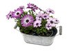 metal pot with spanish daisy