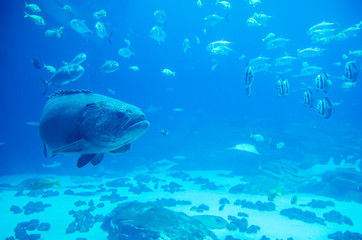 giant grouper fish looking at diver