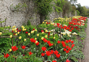 Row of Spring Tulips in a walled garden