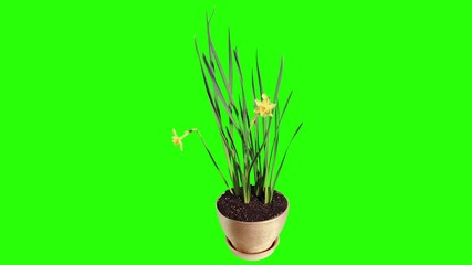 Yellow narcissus blossom buds green screen, FULL HD