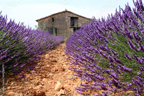 valensole provenza francia campi di lavanda fiorita - 64256670