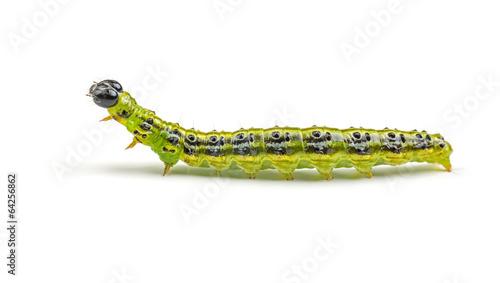 Deurstickers Vlinder Raupe des Buchsbaumzünslers (Cydalima perspectalis)