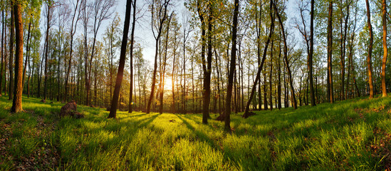 Spring forest panorama with sun