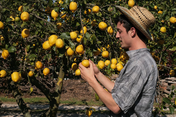 satisfied farmer watch fruits of a lemon tree