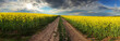 panorama - Sunset over canola field with path  in Slovakia