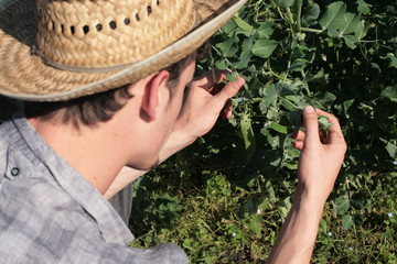 farmer checking peas plant