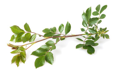Rose branch