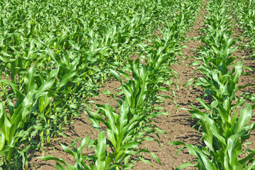 Green corn, agricultural field on which grow up young maize
