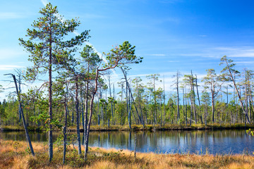Karelian swamp with lake in evergreen woods