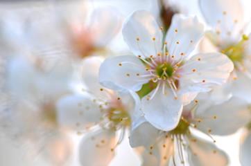 piękne delikatne kwiaty wiśni