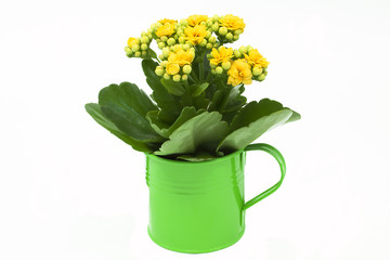 Kalanchoe flower in a green flowerpot
