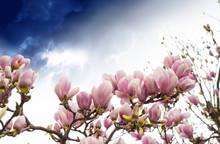 Arbre de magnolia en fleurs, printemps Saison