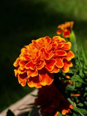 Marigold-4