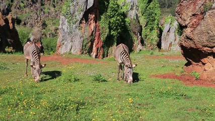 Wild Zebra feeding in the grassland plains of Lake Nakuru, Kenya