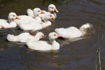 Гусята в воде