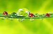 ladybirds between water drops