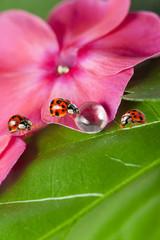 ladybirds between water drops on a flower