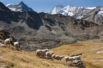 sheep grazing in Swiss Alps