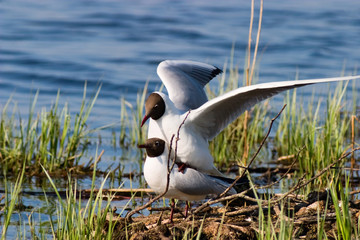 Gulls mating