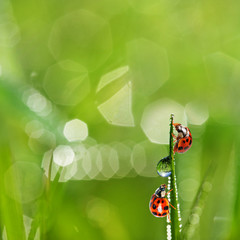 grass and water drops and ladybirds