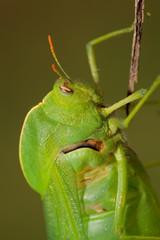 Bladder grasshopper