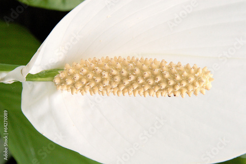 fiori da giardino ingrandimento pistillo
