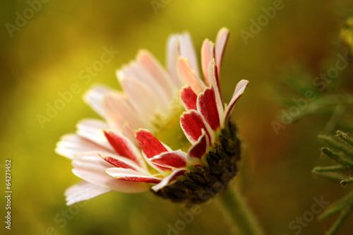 The daisy Bellis perennis flower