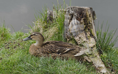 A hen mallard duck with brown feathers in nest
