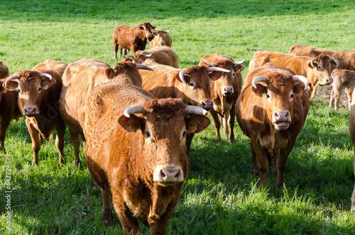 Papiers peints Vache Vache troupeau