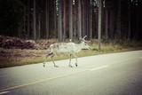 Reindeer stag with exceptionally long antlers poster
