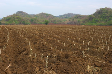 land cultivated cassava