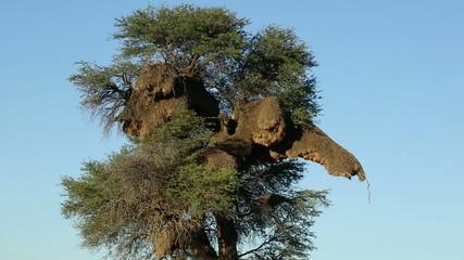 Massive communal nest of sociable weavers in a tree, Kalahari