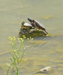 coppia di tartarughe acquatiche