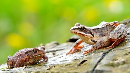 Edible Frog and Toad Frog