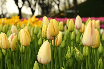 Tulip garden in a rainy day