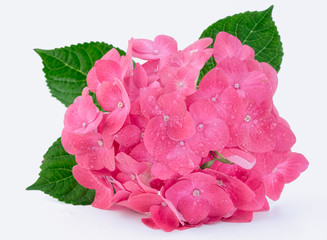 Hortenzia hydrangea pink flower in a pot