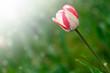 beautiful spring tulip in the sun