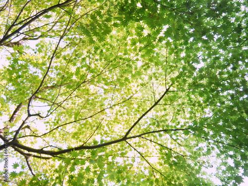 木漏れ日 新緑の楓の葉