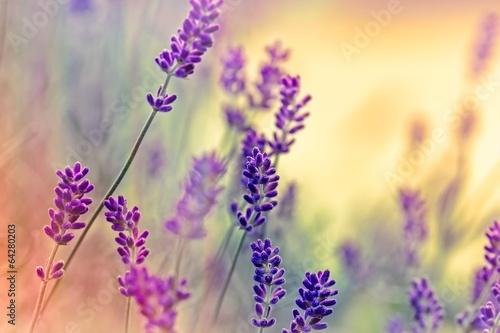 Soft focus on lavender - 64280203