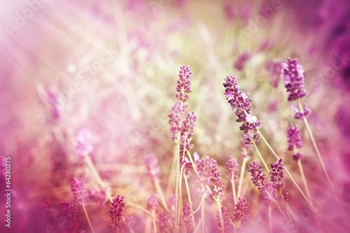 Soft focus on lavender and sun rays - sunbeams - 64280275