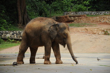 An Elephant in Zoo Malacca