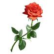 Obrazy na płótnie, fototapety, zdjęcia, fotoobrazy drukowane : rose red luxury