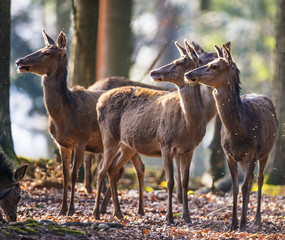 red deers in a forest