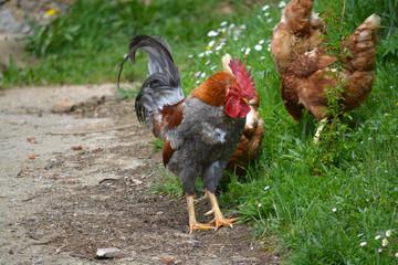 gallo y gallinas en un corral
