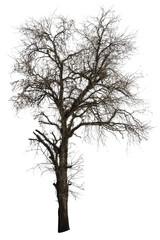 Dead tamarind tree isolated