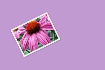 Blüte Echinacea